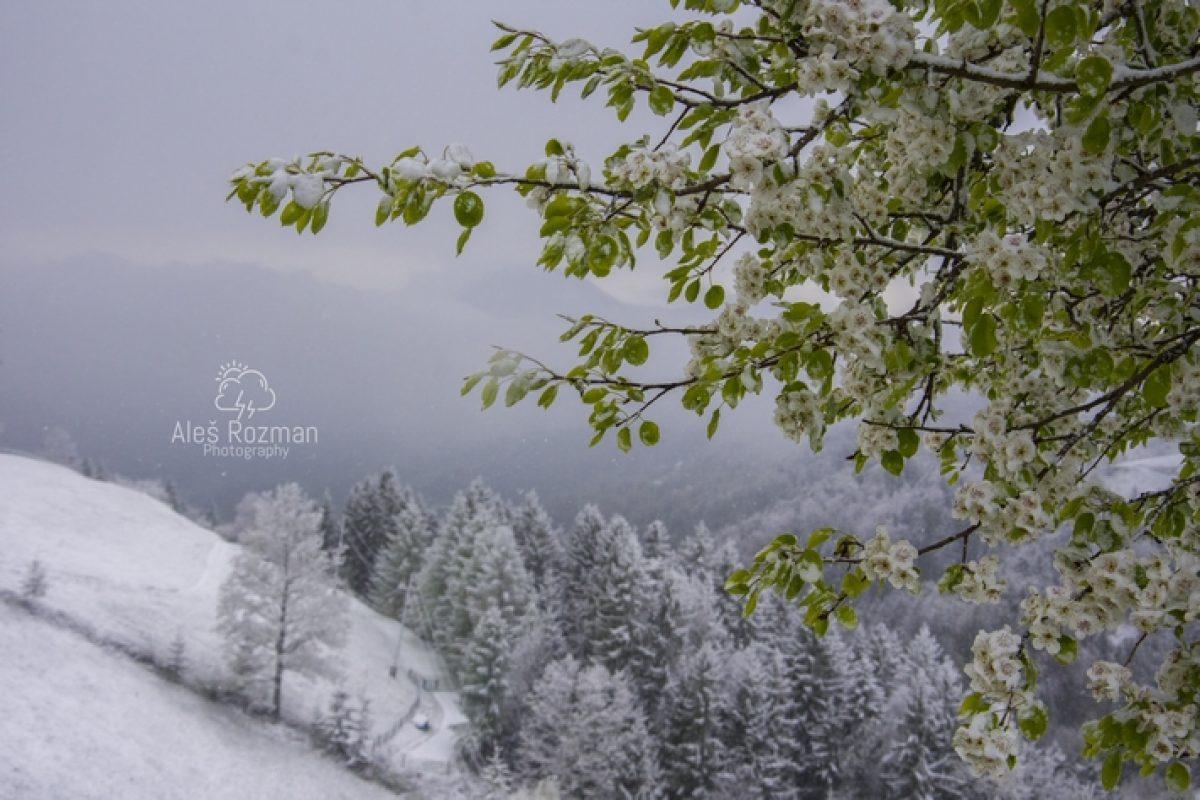 Spomladansko sneženje presenetilo predvsem rastline